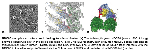 Text Box: (a)         (b)    (c)   					       NDC80 complex structure and binding to microtubules. (a) The full-length yeast NDC80 (almost 600 Å long) shows a conserved kink in the coiled-coil region. (b,c) Cryo-EM reconstruction of human NDC80 bonsai complex on microtubules: tubulin (green), Ndc80 (blue) and Nuf2 (yellow). The C-terminal tail of tubulin (red) interacts with the NDC80 in the adjacent protofilament via the CH domain of NUF2 and the N-terminal NDC80 tail (purple).